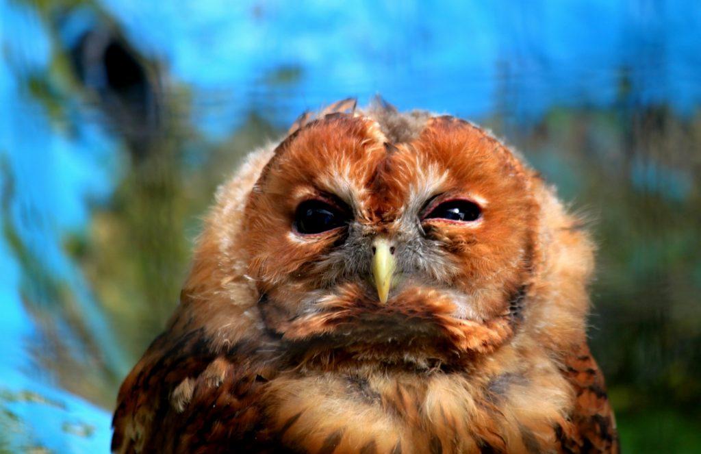 sick, grumpy owl
